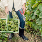 Vendemmia in Champagne 2019