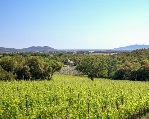 DOC Maremma Toscana_Ph. Carlo BonazzaGiugnano vigne olivi (2)