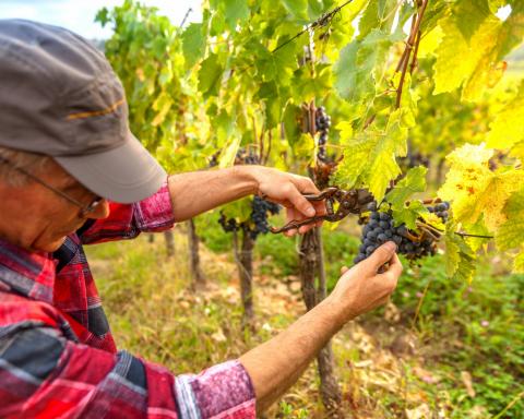 Arriva in Italia lo standard unico di sostenibilità per la viticoltura